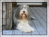 Du�y, Bearded collie