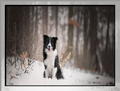 Border collie, Śnieg, Pies, Las