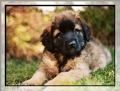 Leonberger, Br�zowy, Pies