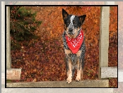 Chustka, Pies, Australian cattle dog