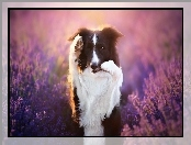 Border collie, Lawenda