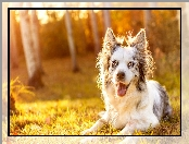 Border collie, Polana