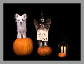 Halloween, Lampion, Chihuahua, Psy, Dynie