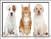 Labrador Retriever, Maine Coon, Jack Russell Terrier, Pies, Kot