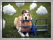 Pilot, Golden Retriever, Pies, Chmurki