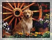 Ko�o, Golden Retriever, Pies, Kwiaty