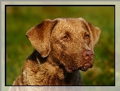 Pysk, Chesapeake Bay retrievera