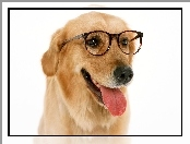 Retriever, Język, Golden, Okulary