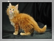 S�odkie, Kot, Maine Coon