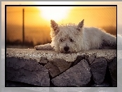 Słońce, West Highland White terrier, Murek