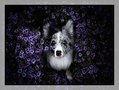 Border collie, Astry marcinki, Pies, Kwiaty