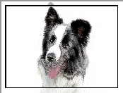 Pies, Border Collie
