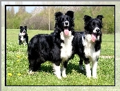 Border Collie, Trzy, Psy