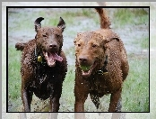Chesapeake Bay retrievery, Dwa, mokre