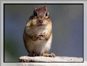 Chipmunk, Pniak