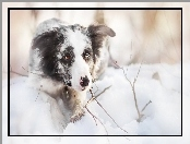Border collie, Śnieg