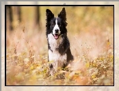 Border collie, Trawa