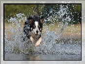 Border collie, Woda