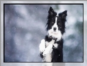 Border Collie, Zima