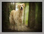 Golden retriever, Las, Pies, Drzewa