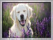 Golden retriever, Lawenda, Pies, Uśmiech