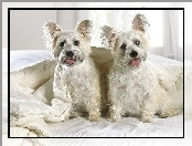 Highland, Terrier, West, White