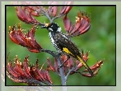 Kwiat, Ptaszek, New Holland Honeyeater
