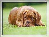 Leżący, Dog de Bordeaux