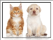 Maine Coon, Labrador Retriever, Kot, Pies
