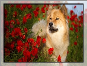 Maki, Pies, Szpic eurasier