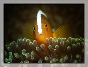Orange skunk clownfish, Rybka, Błazenek