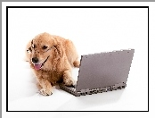Laptop, Pies, Golden retriever