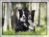 Psy, Las, Dwa, Border collie
