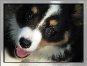 pysk, Welsh corgi cardigan