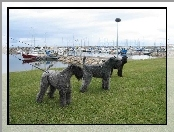 trzy, Kerry blue terrier
