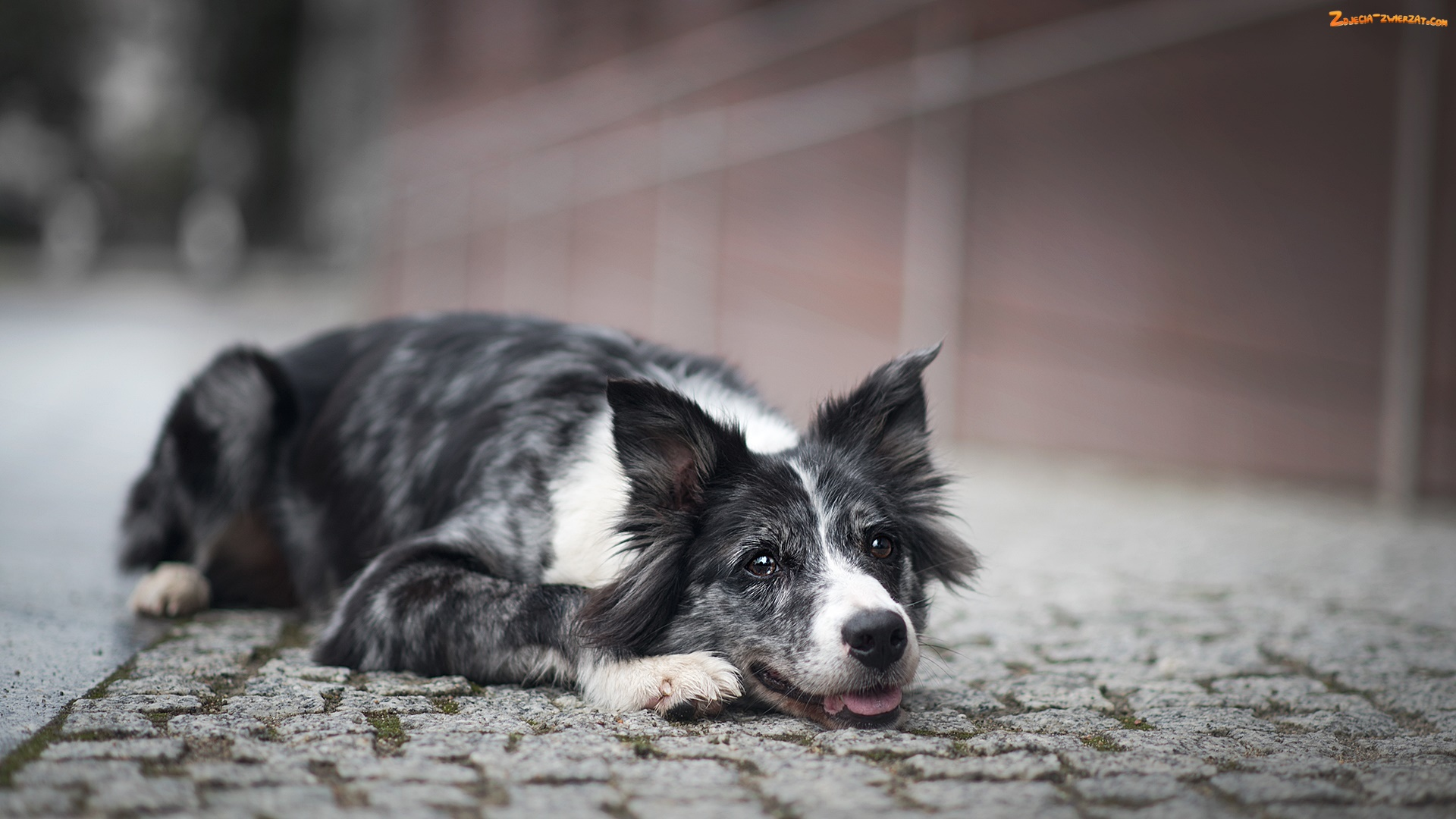 Border collie, Bruk, Pies, Mordka