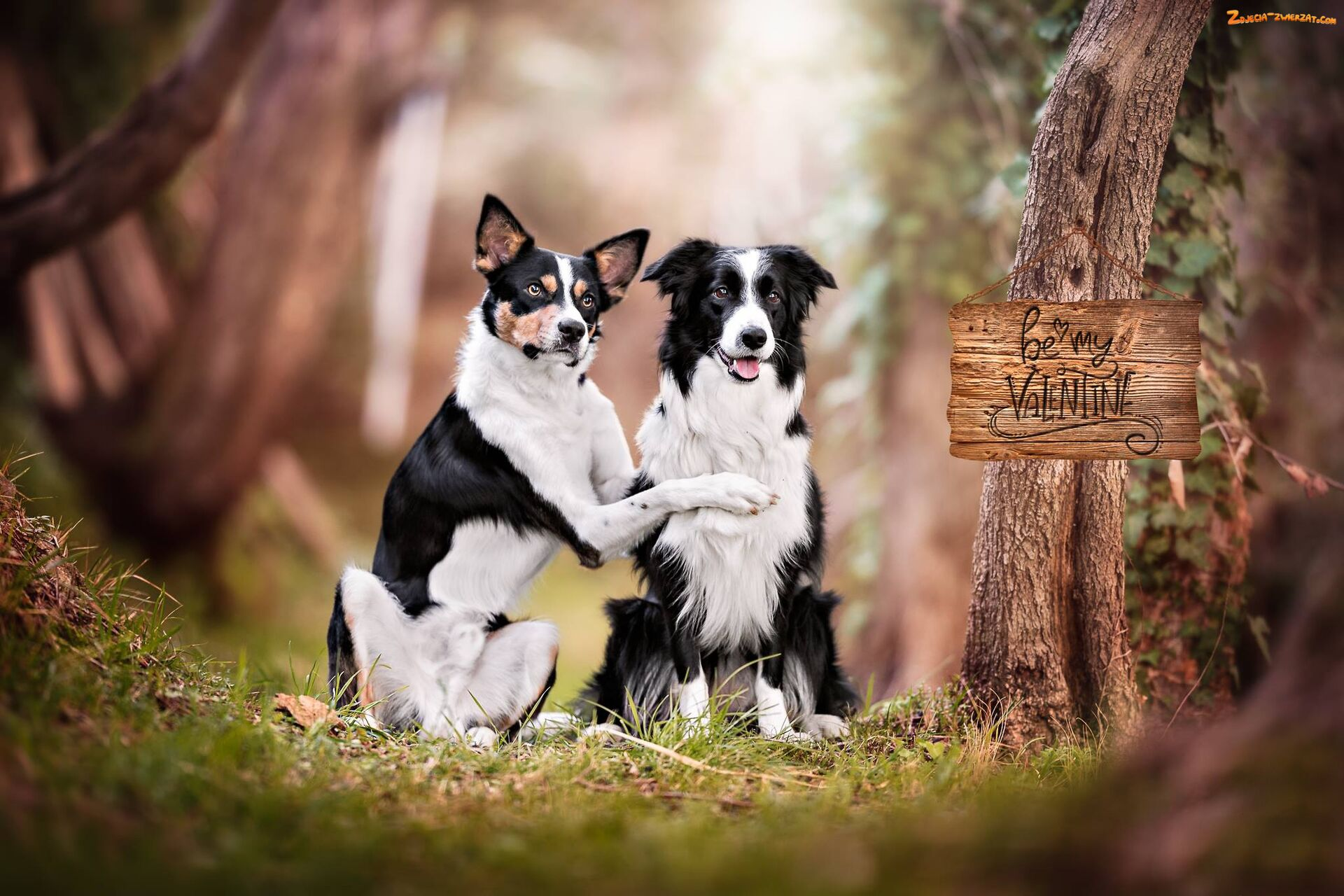 Psy, Border collie, Dwa, Kundelek