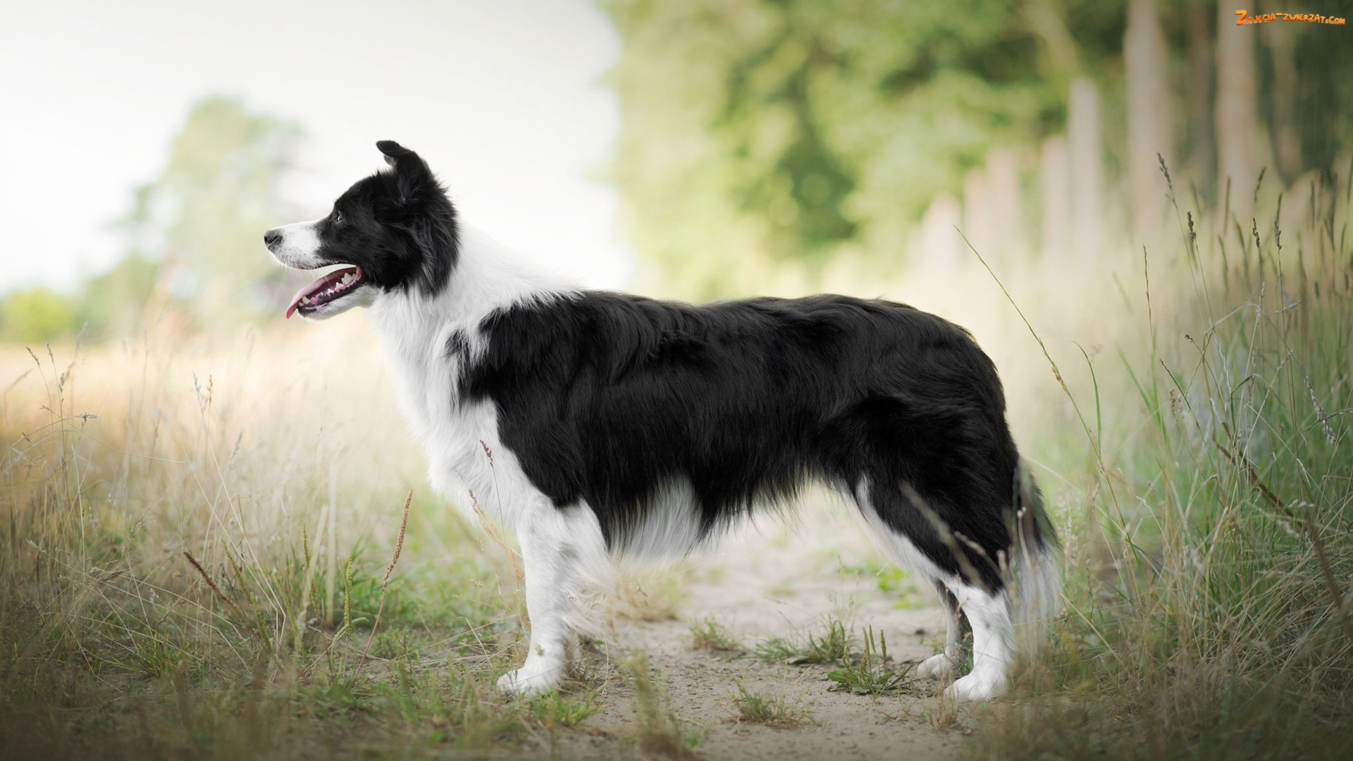 Trawa, Pies, Border collie